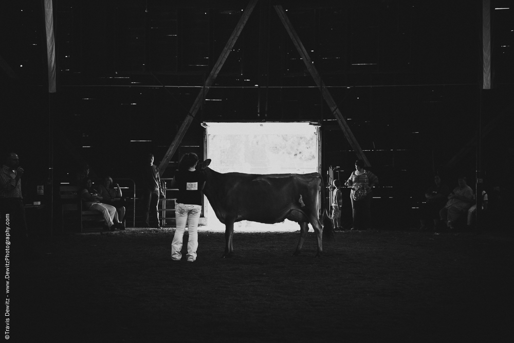 Northern Wisconsin State Fair Cow Being Shown