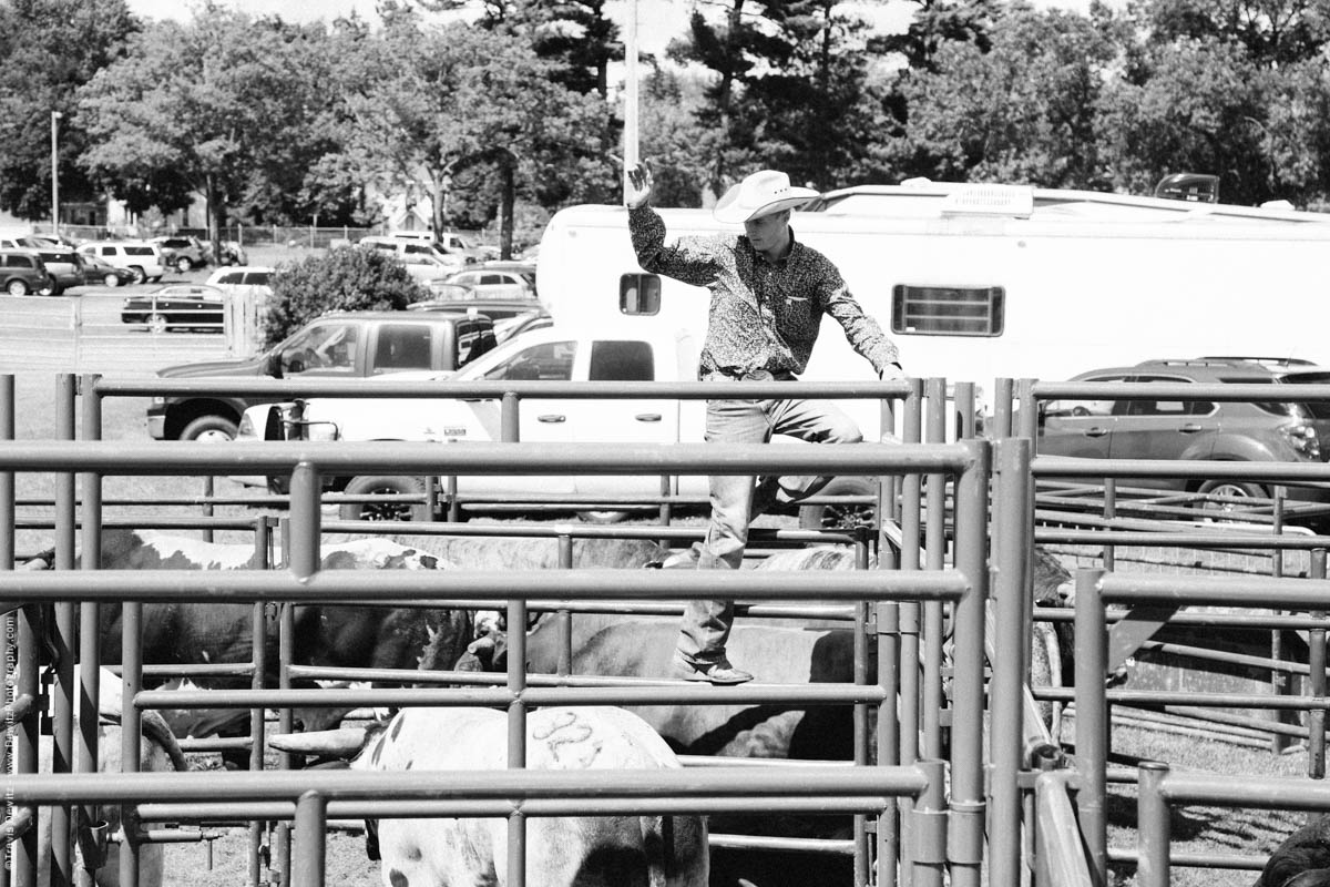 Cowboy Getting Bulls Ready-3201