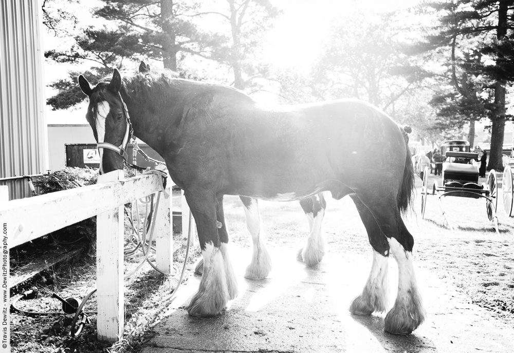 Northern Wisconsin State Fair Draft Horse in Sunshine