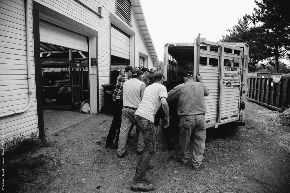 Northern Wisconsin State Fair Pushing Cow into Trailer