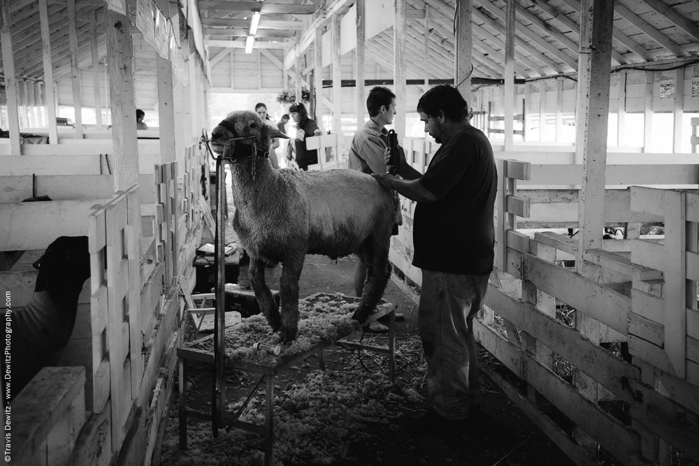Northern Wisconsin State Fair Shaving Sheep