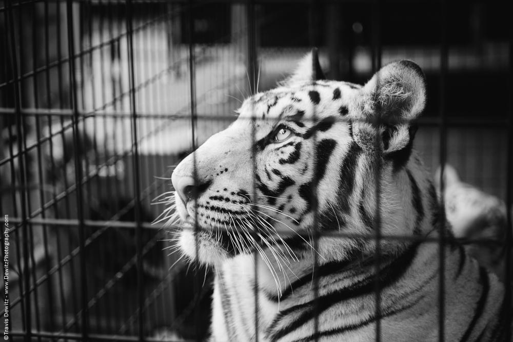 Northern Wisconsin State Fair White Tiger