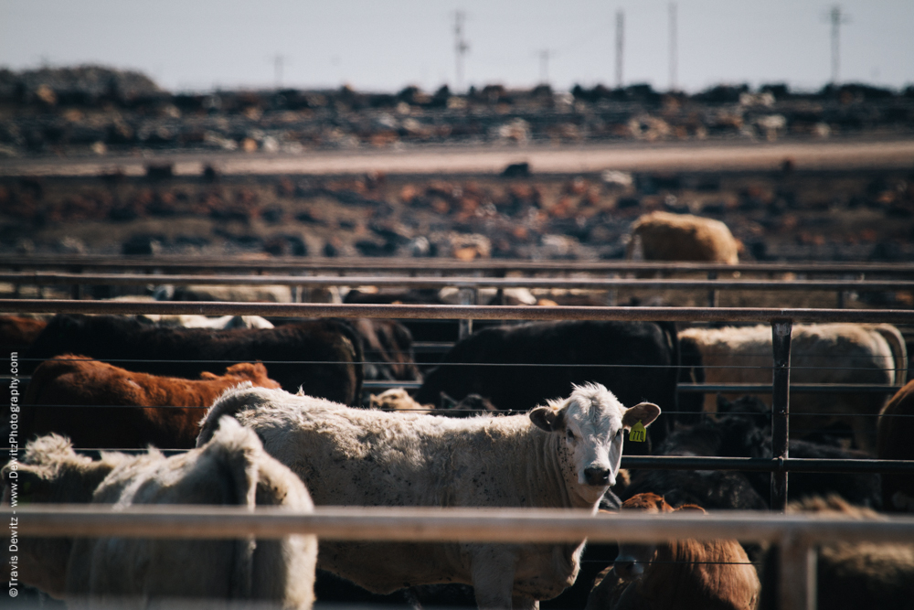 Cow Feed Lot