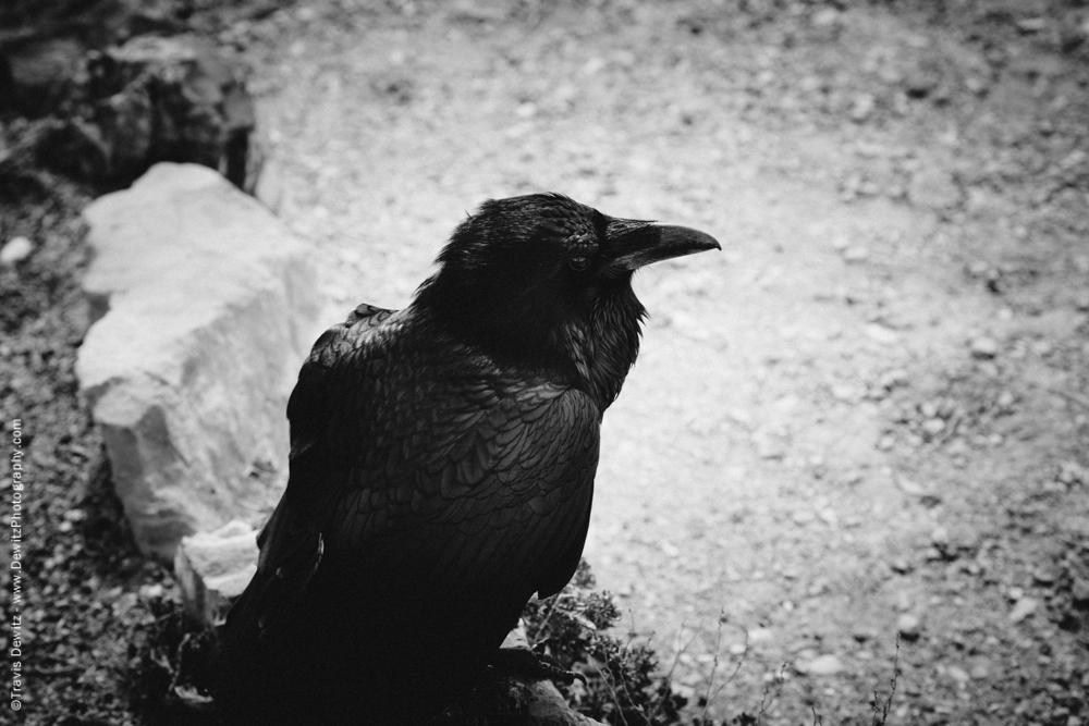 Mean Raven