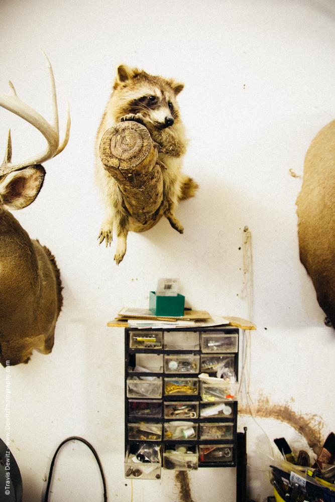 Taxidermy Raccoon