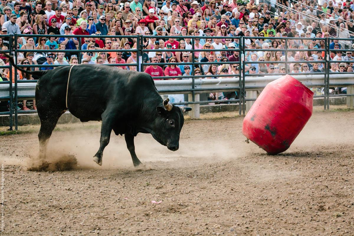 Bull Hitting Red Barrel-2893