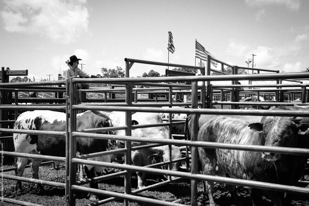 Cowboy Watching Over Bulls-2683