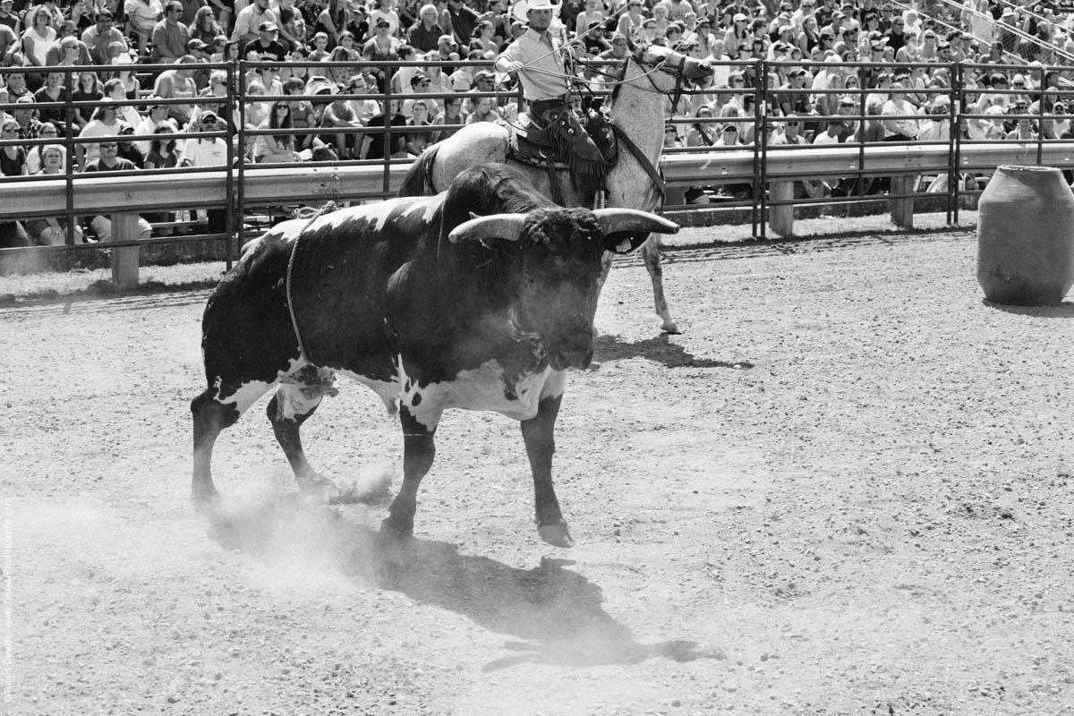 Cowboy on Horse Ropes Bull-3016