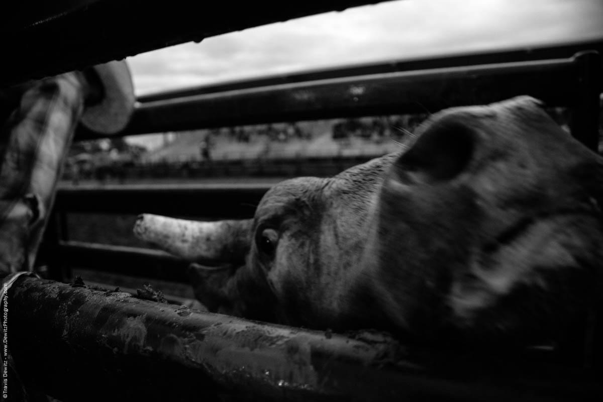 bull-gets-anxious-in-chute-4918