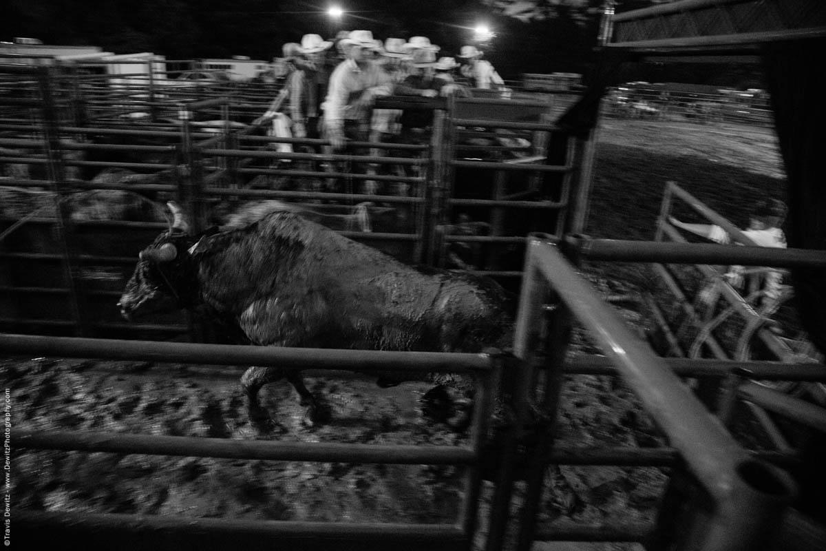 rodeo-bull-runs-into-pens-5162